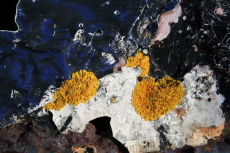 Yellow Lichen peeling blue paint and fragments of newspaper