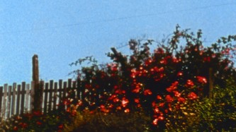 A flowering bush next to a fence in front of a clear blue sky
