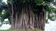 A medium close up of the thick trunk and roots of a mangrove tree