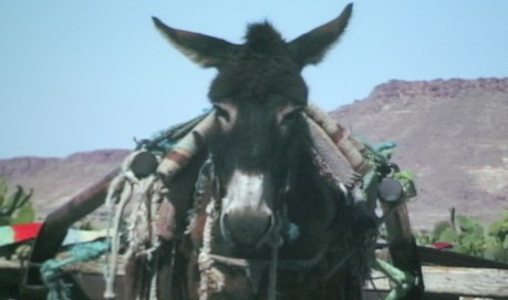 A straight ahead shot of a donkey, carrying a pack, against a blue sky